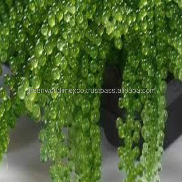 BEST SELLER: SEA GRAPE_SEAWEED FROM VIETNAM