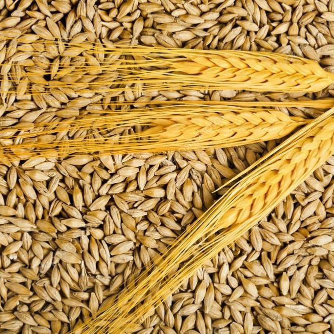 High quality Argentine Barley