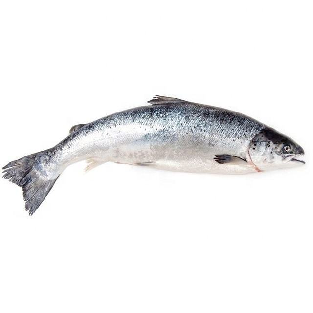 Top quality frozen seafood chum salmon for sale at low price