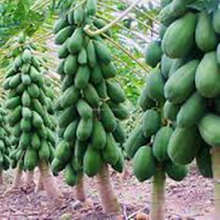 High Quality Red Lady Seeds Papaya Seeds For Sale