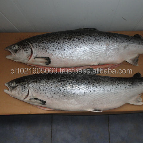 Atlantic Chilean Salmon
