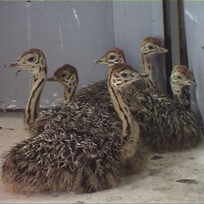 Ostrich Chicks , Fertilized Eggs,Red and Black neck Ostrich for sale