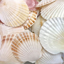 Varies natural Raw material seashell/ Scallop Shell