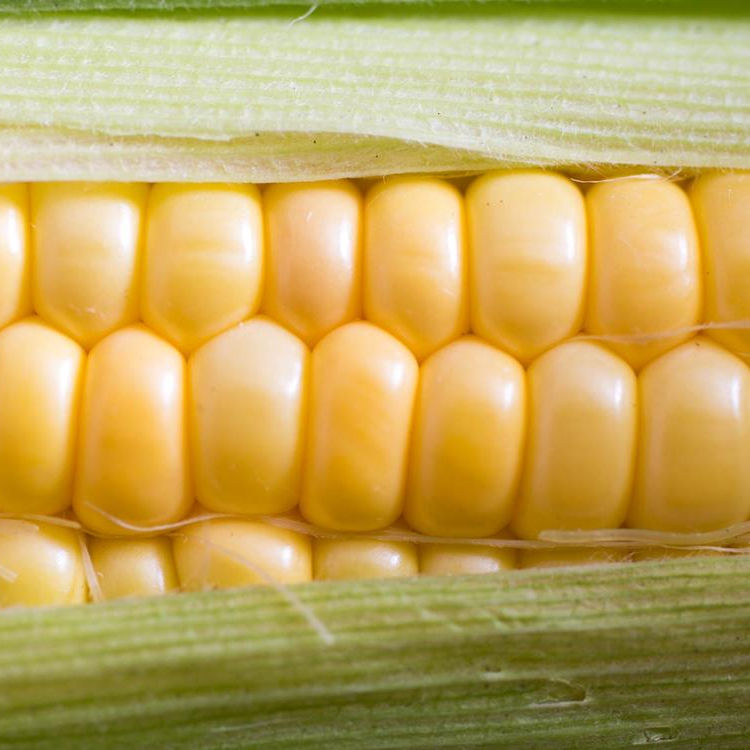 GOOD QUALITY INDIAN CORN YELLOW MAIZE