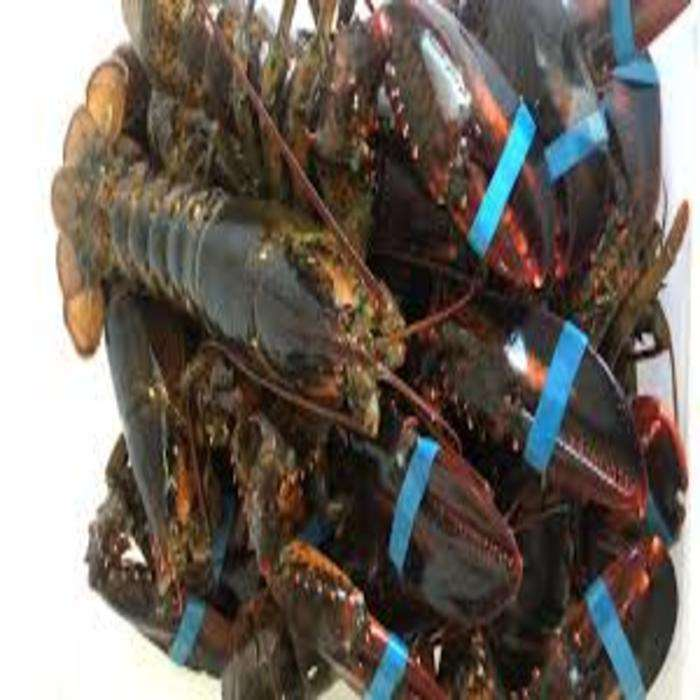 LIVE American rock lobster-Canadian lobster