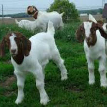 Blessed Boer Goats For Sell