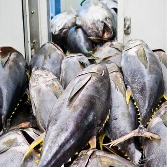 Cheap Price Fresh Fish Frozen Yellow Fin Tuna 10kg.