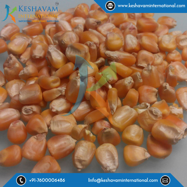 Yellow Corn Animal Feed, Natural Sweet Corn Available at Export Price