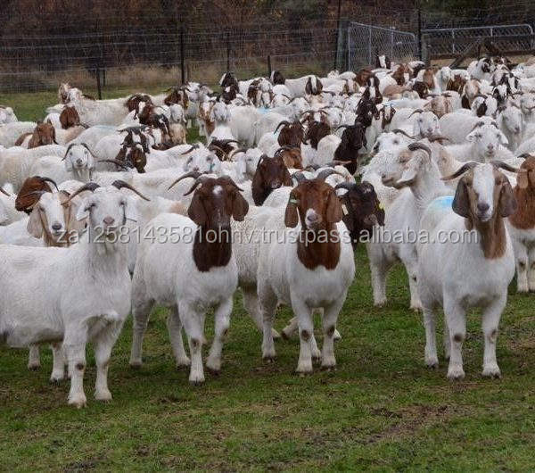 100% Full Blood Boer Goats/ Live Sheep, Goats and Cattle