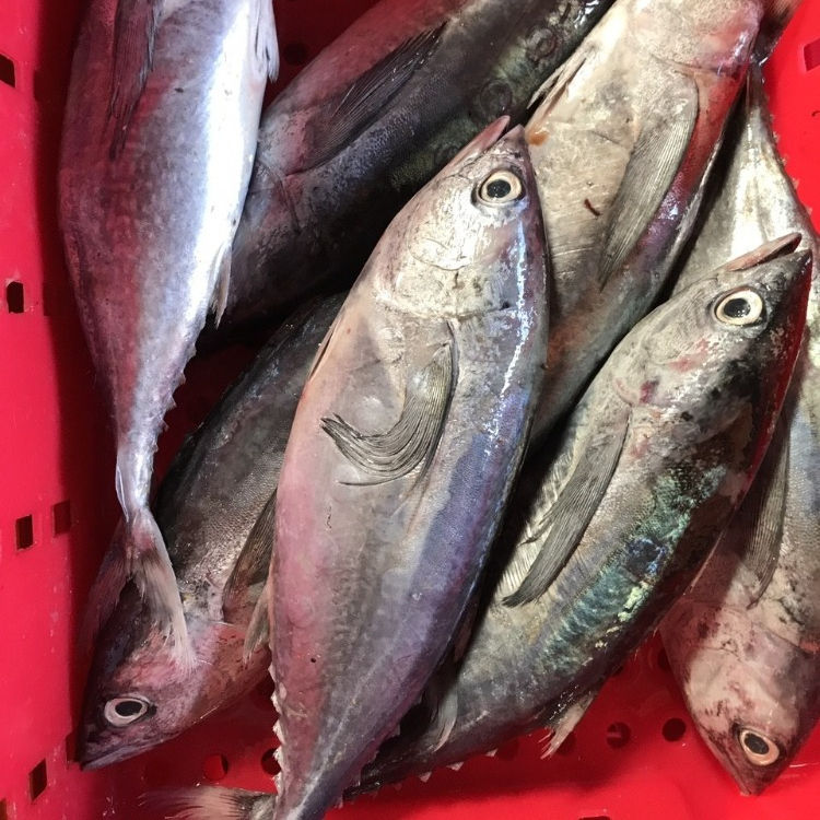 LONG TAIL TUNA FISH FROM VIETNAM WITH HIGH QUALITY