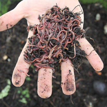 ปุ๋ย - EARTHWORM - VERMICOMPOST // Anny + 84 1626 261 558