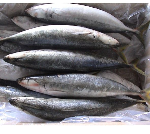 Wholesale Cheap Seafood Frozen Fresh Pacific Mackerel Fish Whole Round For Sale