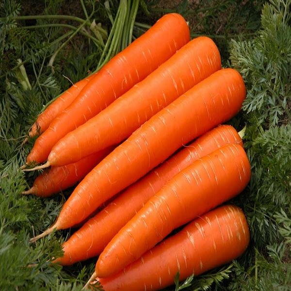 A GRADE Fresh Carrots for sale