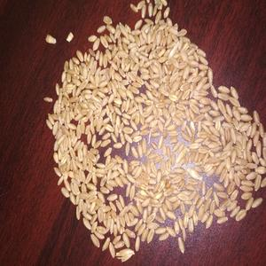 Wheat Grain Dried Style Quality Wheat Seeds