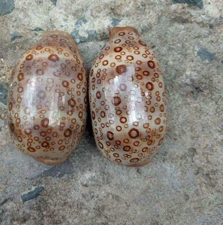 Littorina littorea shell / raw seashell material(Ms.Vivian +84 357122035 )