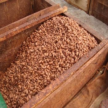 High Quality Natural Dry Raw Cocoa Beans