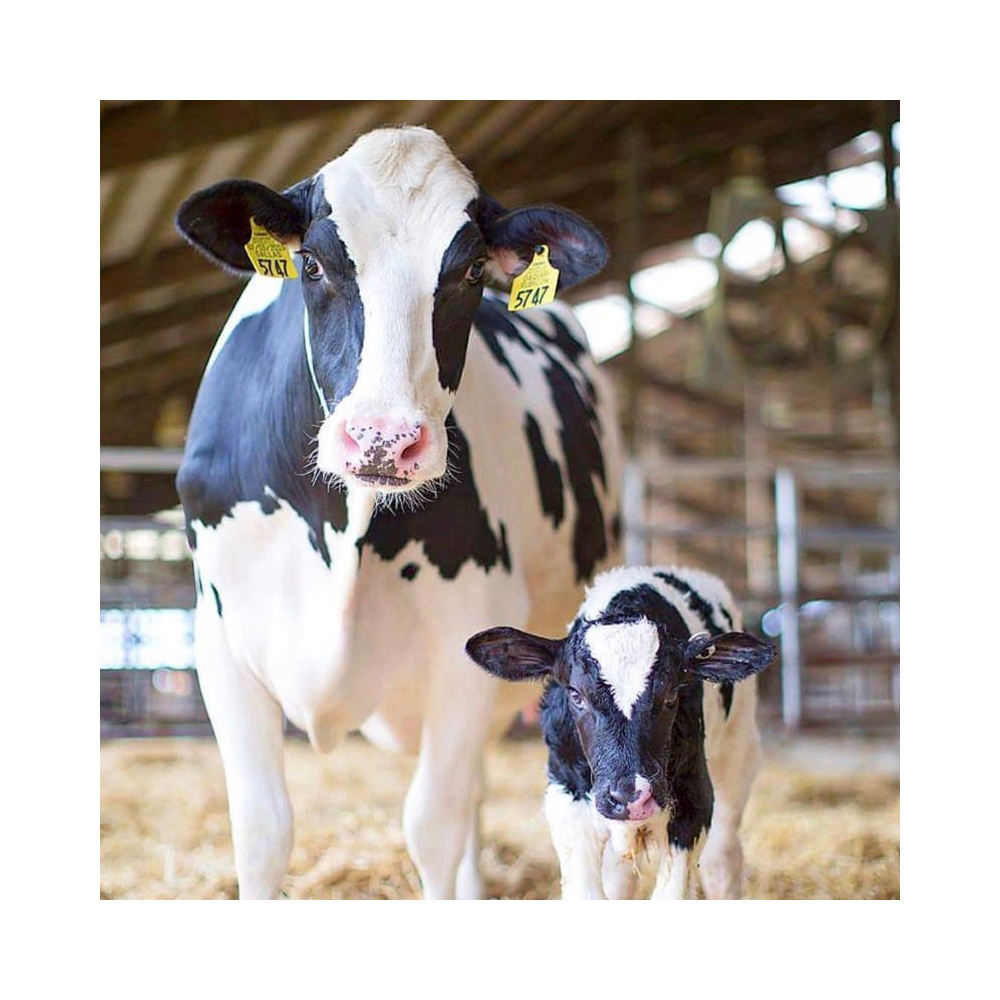 Live Dairy Cows and Pregnant Holstein Heifers Cows,Live cows