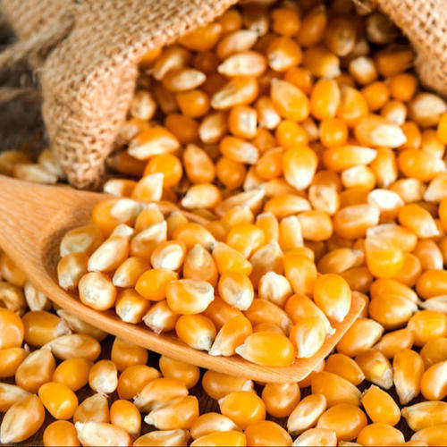 Yellow Corn/Maize for Animal Feed / YELLOW CORN FOR POULTRY FEED