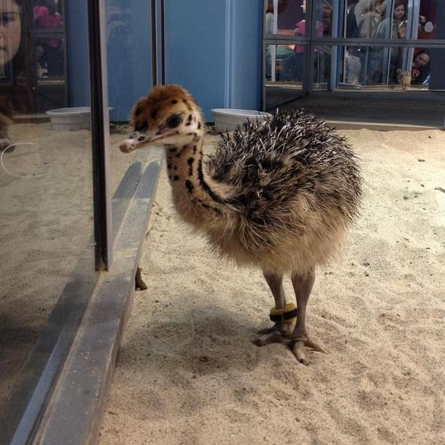 Live Ostrich Chicks For Sale