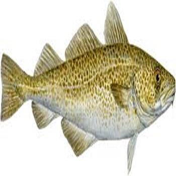 Cheap Price Cod Fish For Sale
