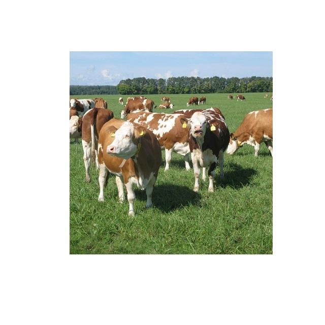 Strong Healthy Pregnant Simmental Cattle