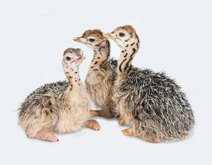 Wholesale Ostrich Chicks for Sale /Red and Black Neck Ostrich for Sale/Live Ostrich Birds