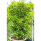 Miracle Fruit Natural Plant Height 135cm nice shape outdoor plant landscape garden Synsepalum Dulcificum Miraculin miracle berry