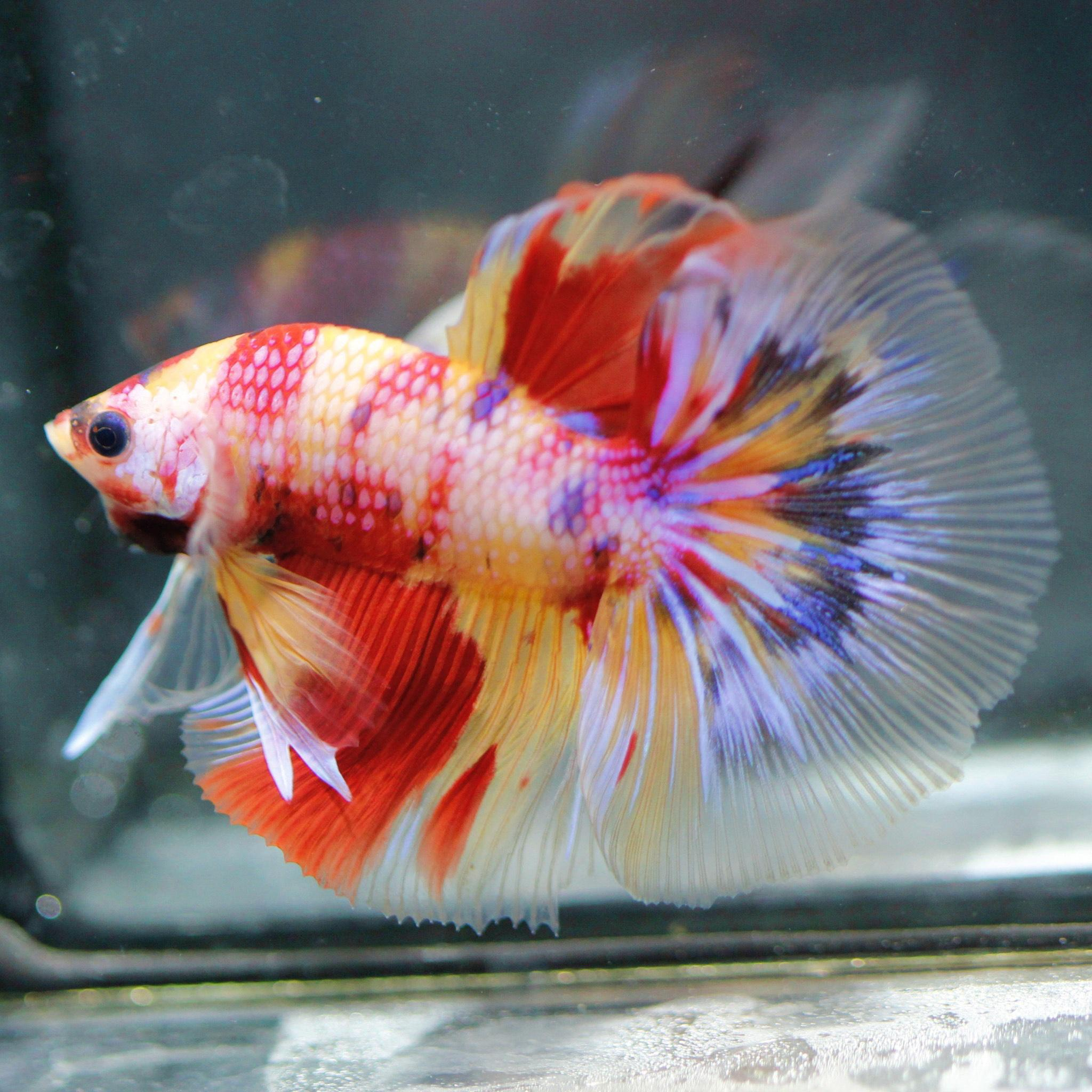 Halfmoon betta fish live Thailand betta farm betta wholesale