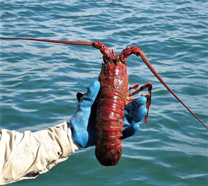 Live South American Spiny Lobsters/Live Lobsters/Seafood!