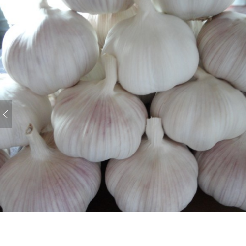 Common cultivate siliceous vegetables fresh white garlic and ginger