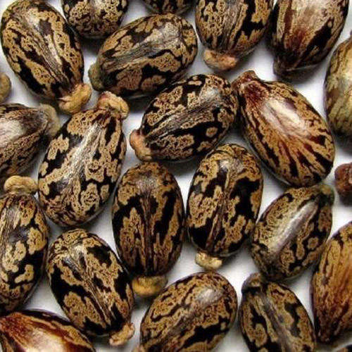 Castor Seeds High sprouting herb raw castor bean plant seeds Bulk Wholesale price