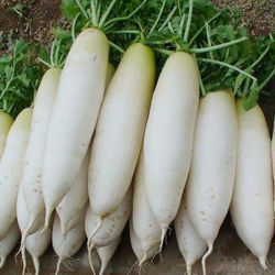 Newest Crop Fresh White Radish
