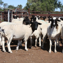 Healthy Livestock / Live Animals - Goats, Sheep, Cattle, Lambs, Cows, Heifers, Holstein for Sale