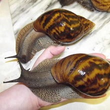 High Quality Edible Snails Frozen,Dried ,Fresh Snails For sale