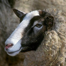 live and pure breed Romanov Sheep for sale