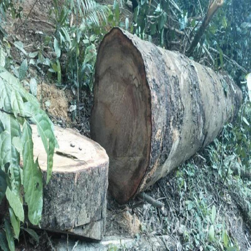 Dibetou timber wood logs : Pulpwood / pulp logs from Latvia - white birch, pine, spruce