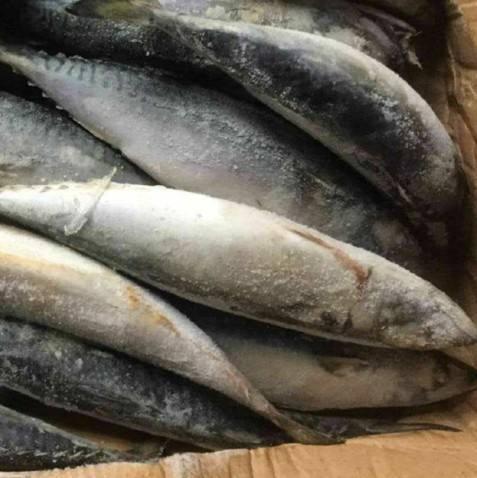 Sea Fish Best Seafood With Fresh Frozen Mackerel Fish/ Pacific Mackerel