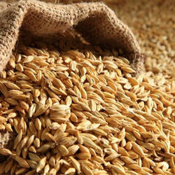 Barley High quality from Kazakhstan