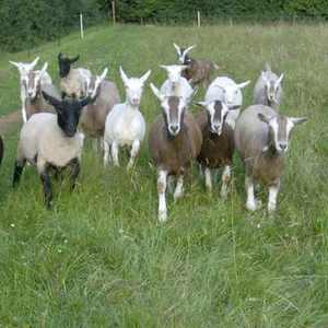 Live Deer/Horse/Cow/Sheep/Ram/Goat/Cattle for sale