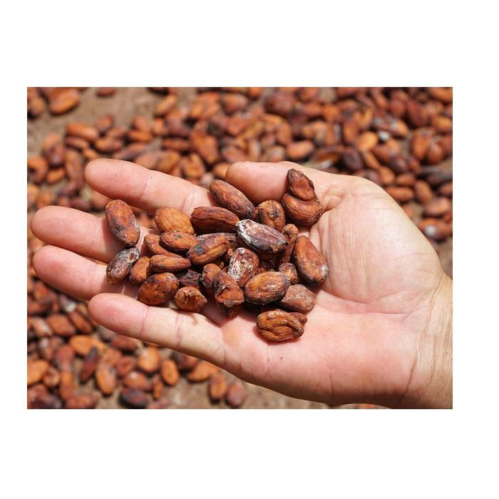 Vietnam cacao beans / cacao powder - Wholesale for raw cacao / cocoa powder - Cocoa bean from Vietnam at competitive price