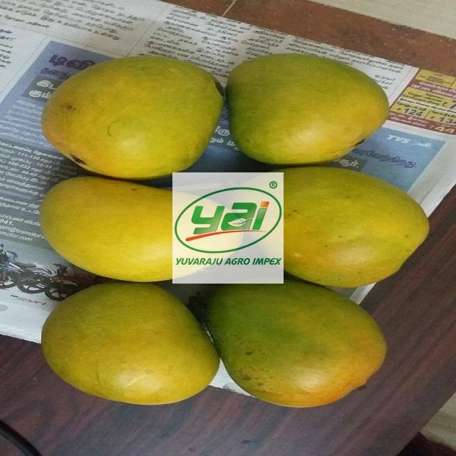 Indian Alphonso Mango Export Quality