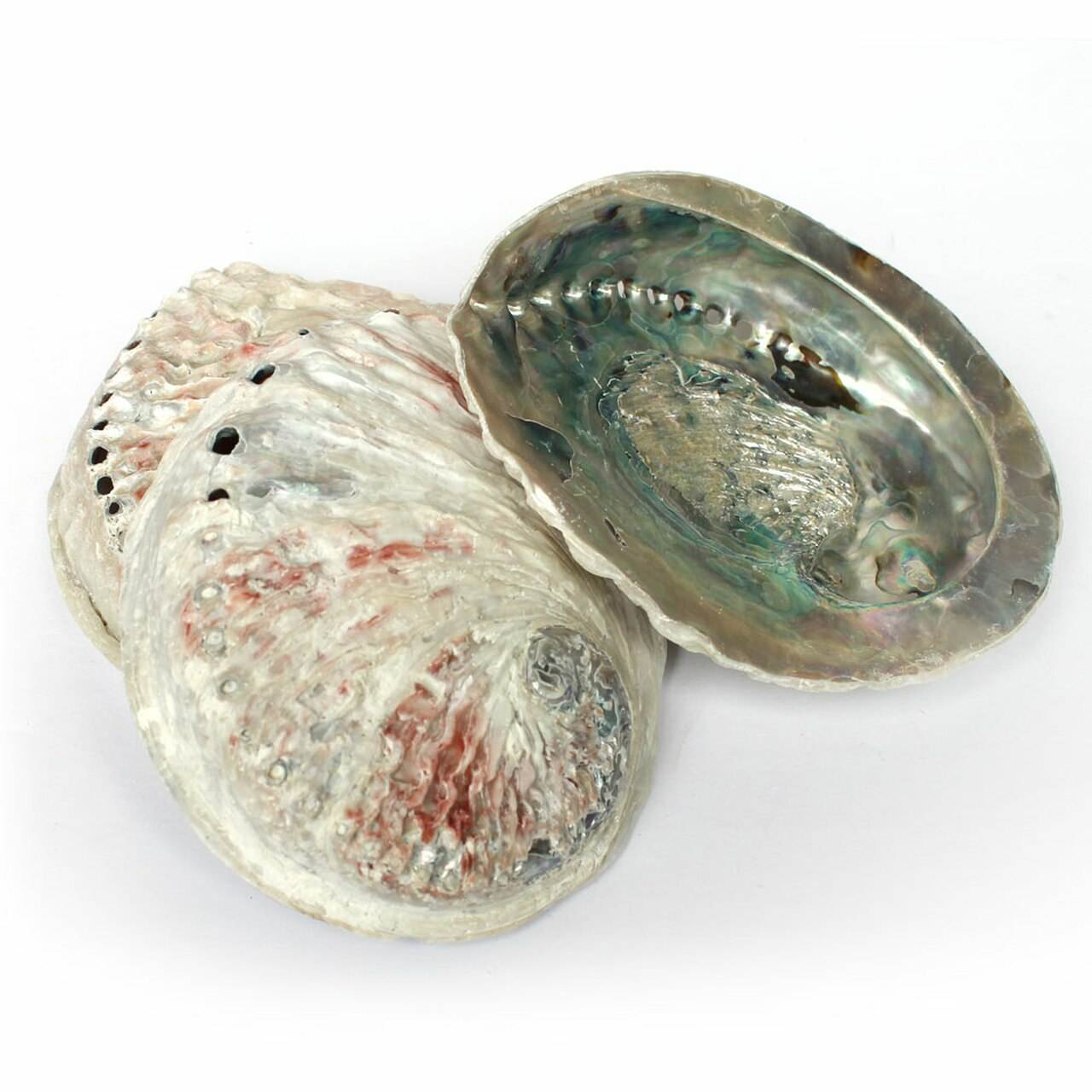 Large size natural abalone white and blue paua shells wholesale best price