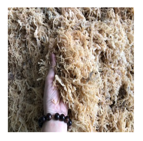 Dried sea moss helps improvement of the immune system made in Vietnam