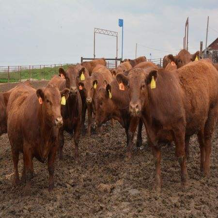 Live Dairy Cows and Pregnant Holstein Heifers Cow/Boer Goats, Live Sheep, Cattle