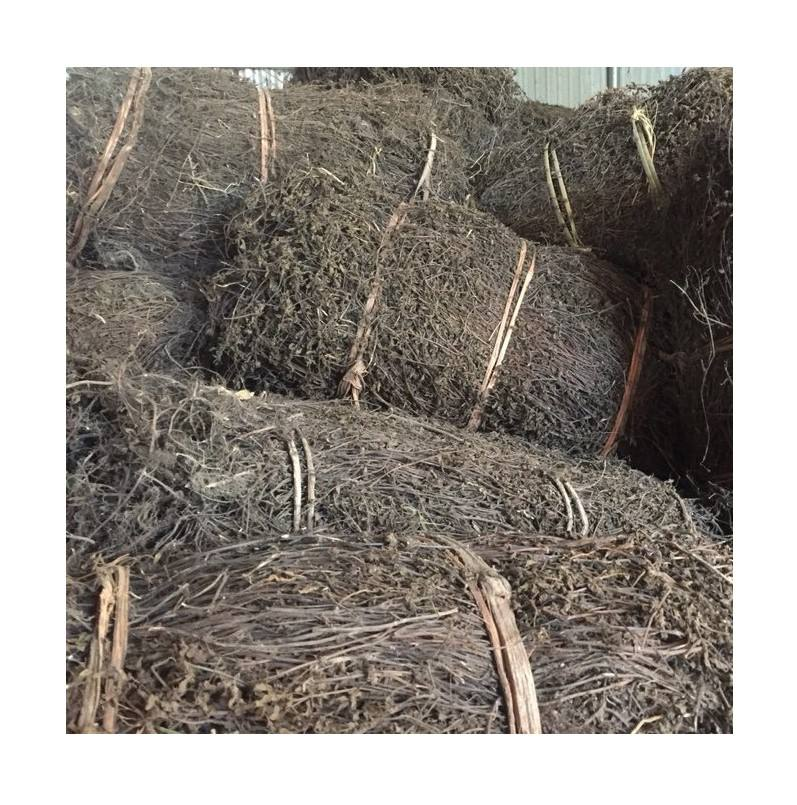 Dried Black Grass Jelly leaf stick for export to Indonesia and Thailand market +84339018083 WS