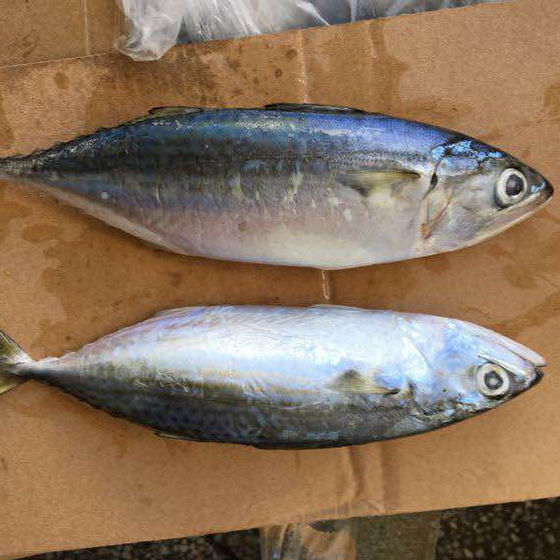FROZEN INDIAN MACKEREL FROM SOUTH AFRICA WITH HIGH QUALITY