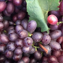Export red globe superior seedless fresh grapes now in stock fresh