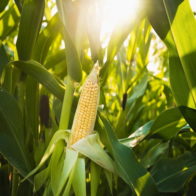 Best Price Non GMO Yellow maize/corn