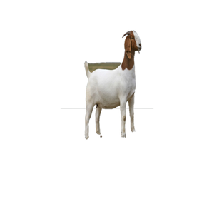 Naimi sheep,cow,camel,sheep,goat,ox,bull