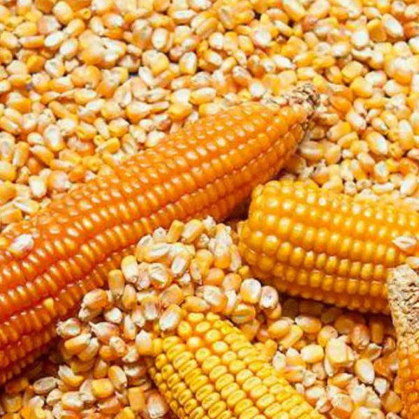 BEST GRADE TOP SHELVE QUALITY YELLOW CORN / WHITE MAIZE FOR HUMAN/ANIMAL CONSUMPTION